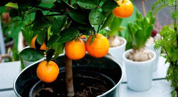 Цитрусовые растения дома