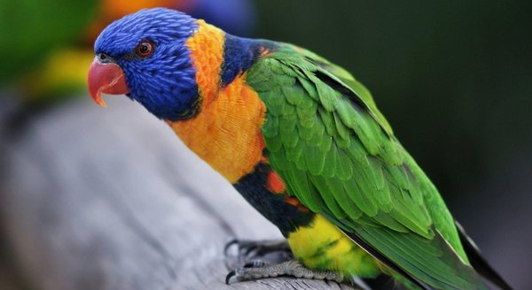 Птица говорун, отличается умом и сообразительностью